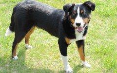 Razas de Perros: perro Boyero de Appenzell caracteristicas