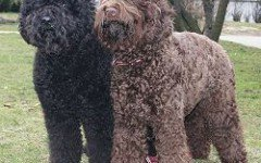 Dog breeds: The Barbet dog temperament and personality