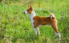 perro Basenji