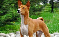 Dog breeds: The Basenji Dog Characteristics and Personality