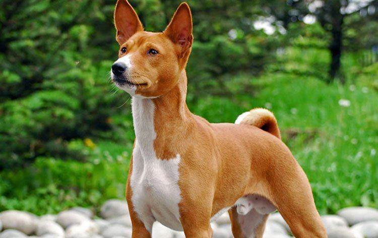 Dog breeds: The Basenji Dog Characteristics and Personality