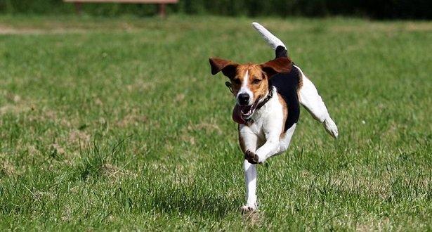 perro Beagle-Harrier