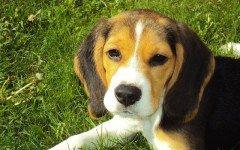 Cani a pelo corto, razze e caratteristiche