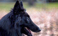 Dog breeds: Belgian Sheepdog Characteristics and Personality