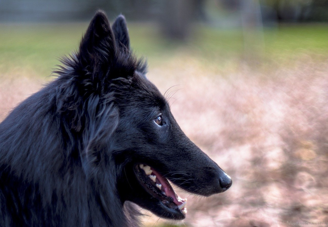 Dog breeds: Belgian Sheepdog temperament and personality ...