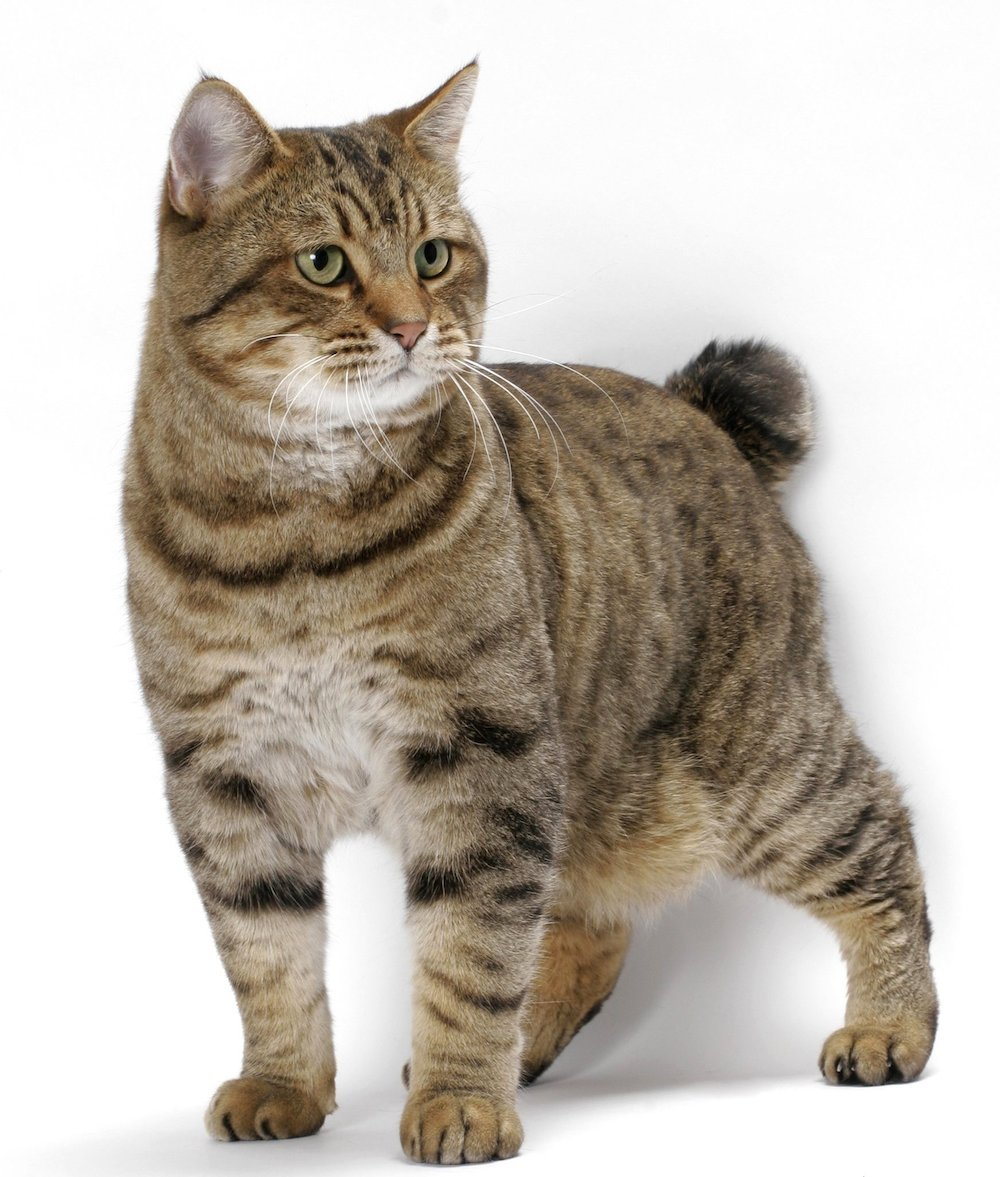 Cat breeds: American Bobtail Cat Origin and Personality