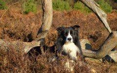Cani da pastore e bovari: quali sono le loro caratteristiche?