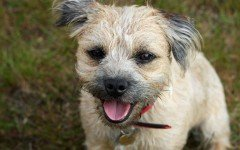Dog breeds: Border Terrier Dog, Characteristics and Personality