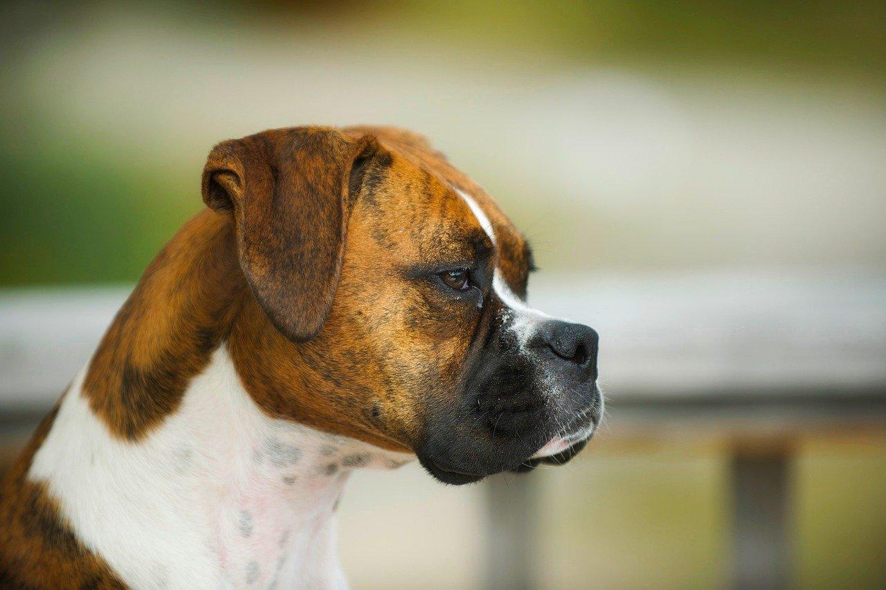 Malattie al cuore del cane: quali sono e come intervenire