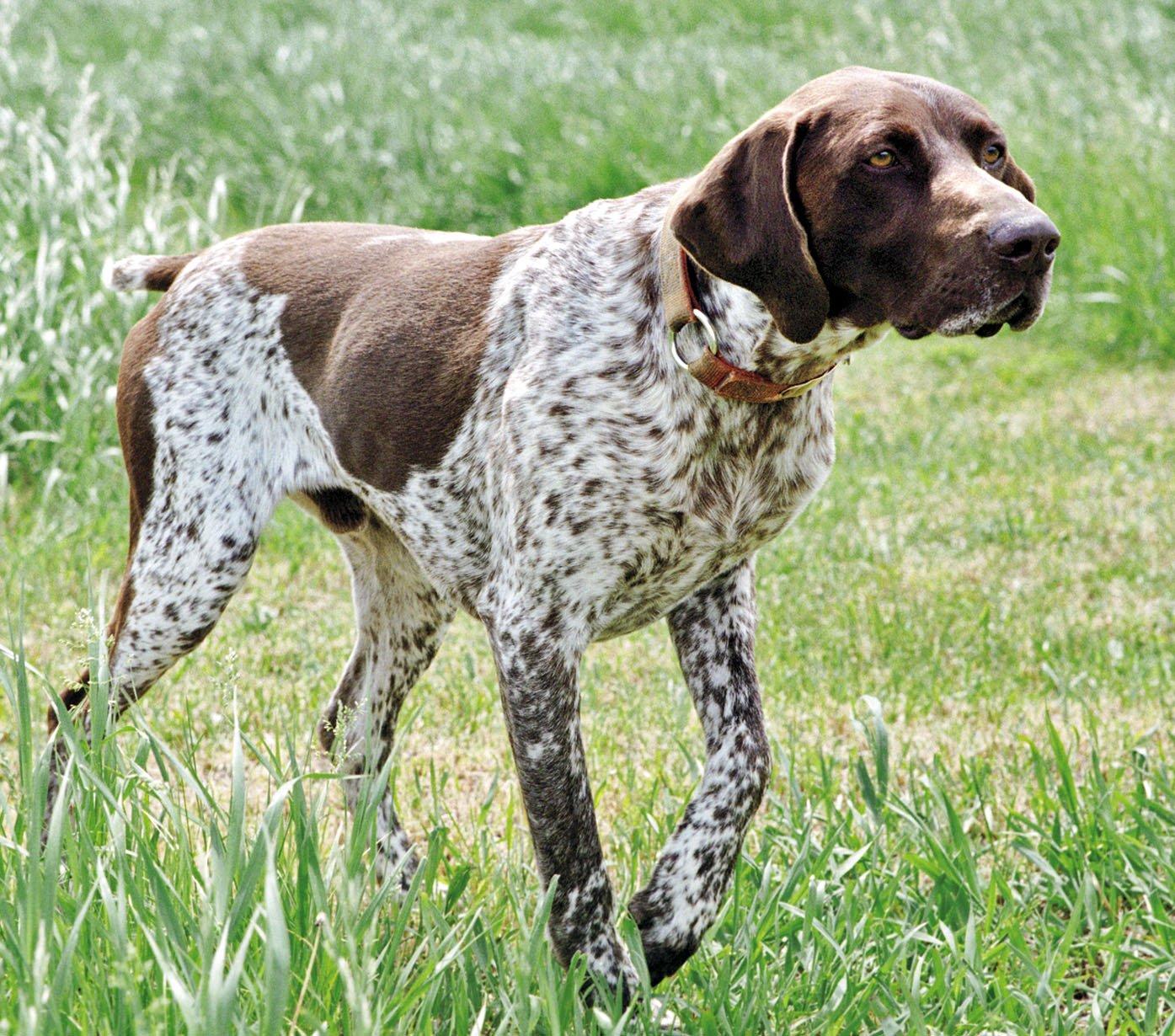 Razas De Perros Braco Aleman De Pelo Corto Caracteristicas