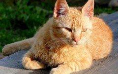 Gato Brasileño de pelo corto