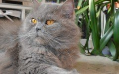 Cat breeds: British Longhair Cat Characteristics and Personality