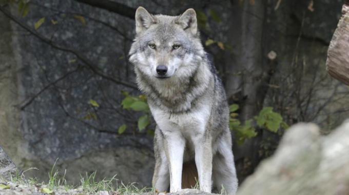 Cane lupo americano, le origini e le caratteristiche