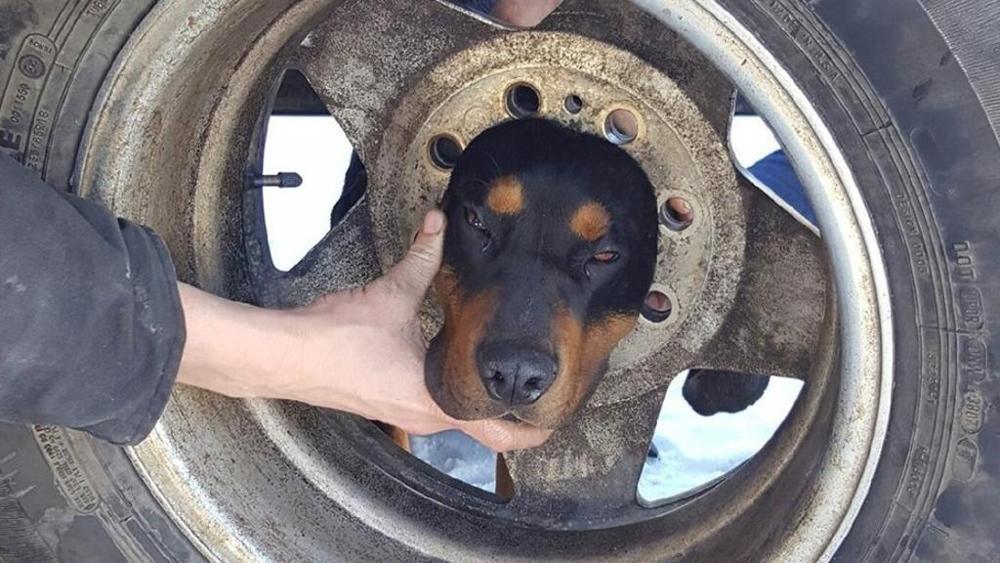 Cane ha incastrato la testa in un pneumatico