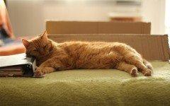 Gato domestico: el gato domestico y sus caracteristicas