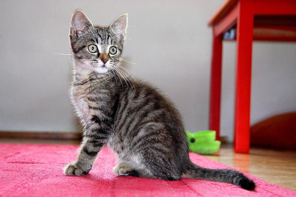 Anatomia del gato: como esta hecho un gato - Dogalize