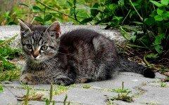 Gatto tigrato grigio tutte le caratteristiche