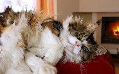 Pelo de Gato: todo lo que necesita saber pellejo