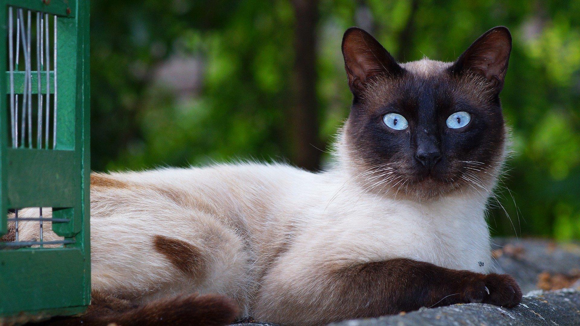 Il gatto siamese: il prezzo e le caratteristiche