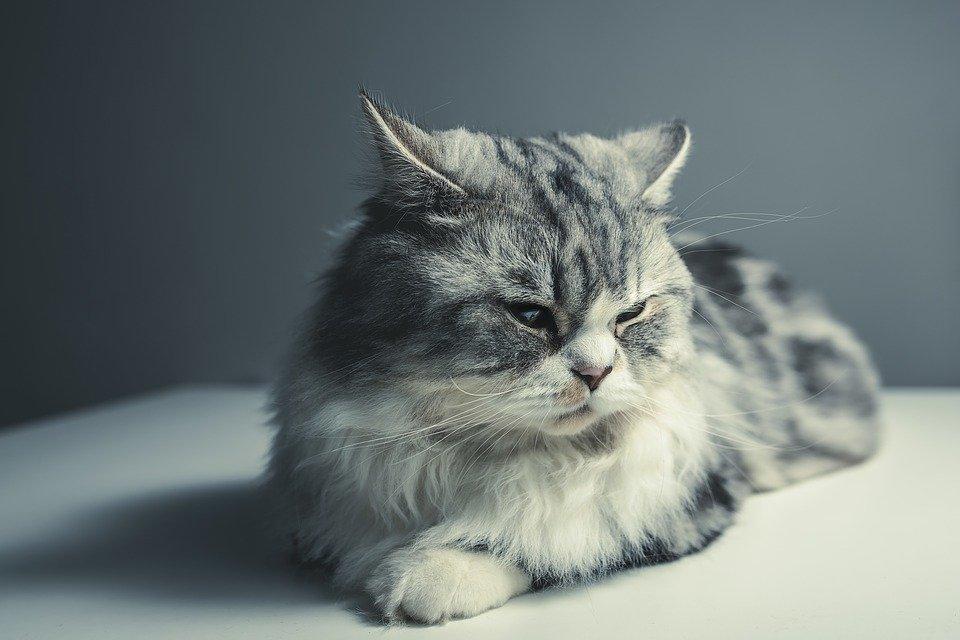 Enfermedades de los gatos enfermedades del gato