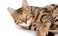 Cat breeds: The Bengal cat, Characteristics and Personality