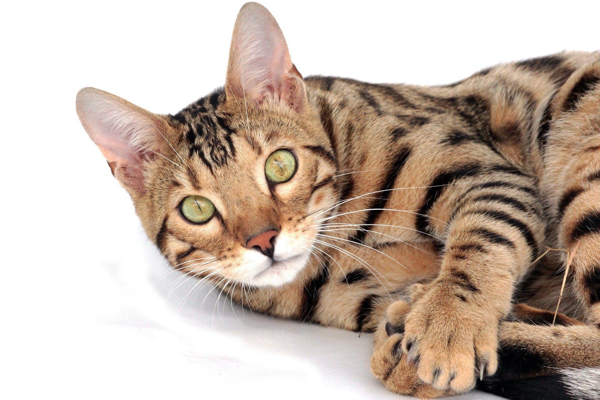 A Bengal Cats Personality Cat breeds: The...