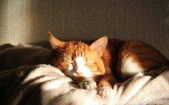 Vacunas para gatos: las vacunas obligatorias y las vacunas opcionales