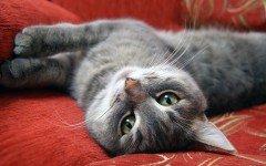 Gatos de pelo corto: Razas, caracteristicas y tratamiento