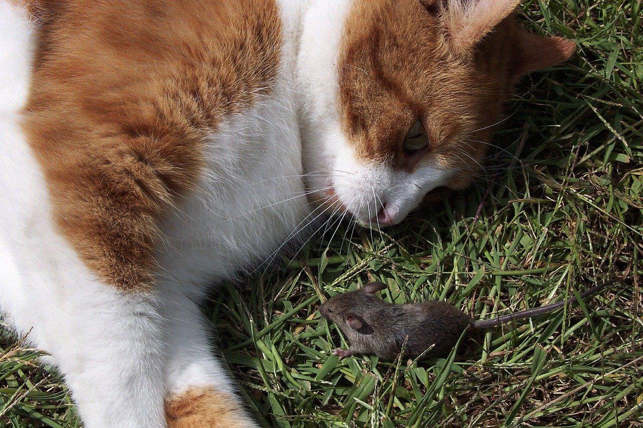 Il rapporto tra gatto e topo: amici o nemici?