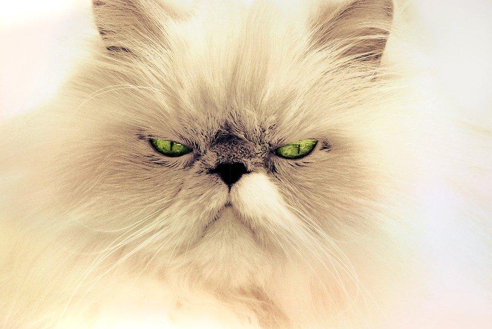Gatos de pelo largo: Razas, características y cuidados