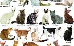 Cat breeds: information, characteristics and behavior