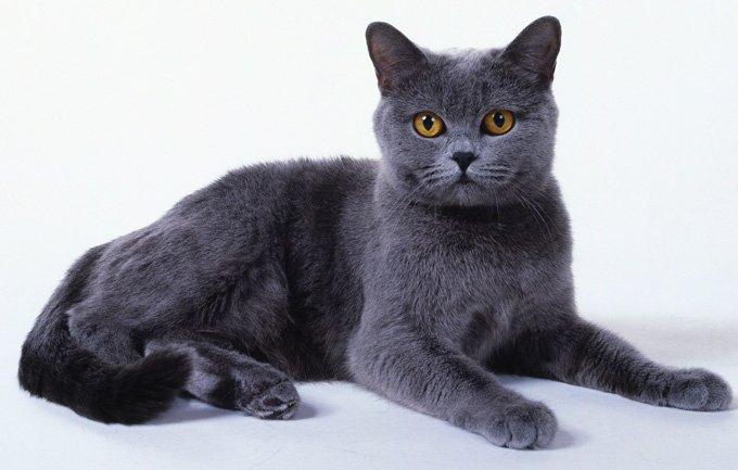 Razas Felinas: gato cartujo Gato Chartreux carácter y características