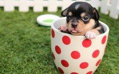 Cani toy: un mercato poco etico. Razze e caratteristiche