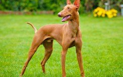 Razas de Perros: perro Cirneco del Etna Características y cuidados