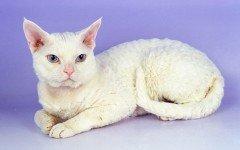 Razas Felinas: Gato Devon Rex carácter y carácteristicas