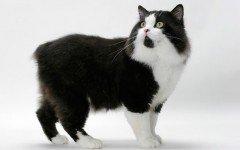 Razas Felinas: Gato Cymric carácter y características