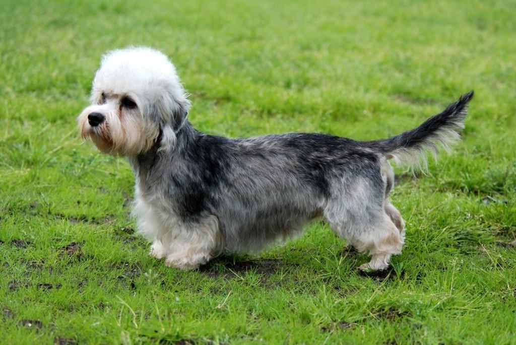 Razas de Perros: perro Dandie Dinmont Terrier características