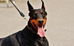 Come educare un cane che tira il guinzaglio insistentemente