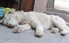 Peleas de perros: logran rescatar 230 perros para peleas