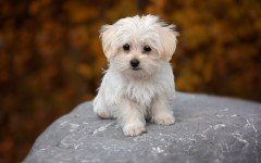 I pasti e l' alimentazione del cane maltese