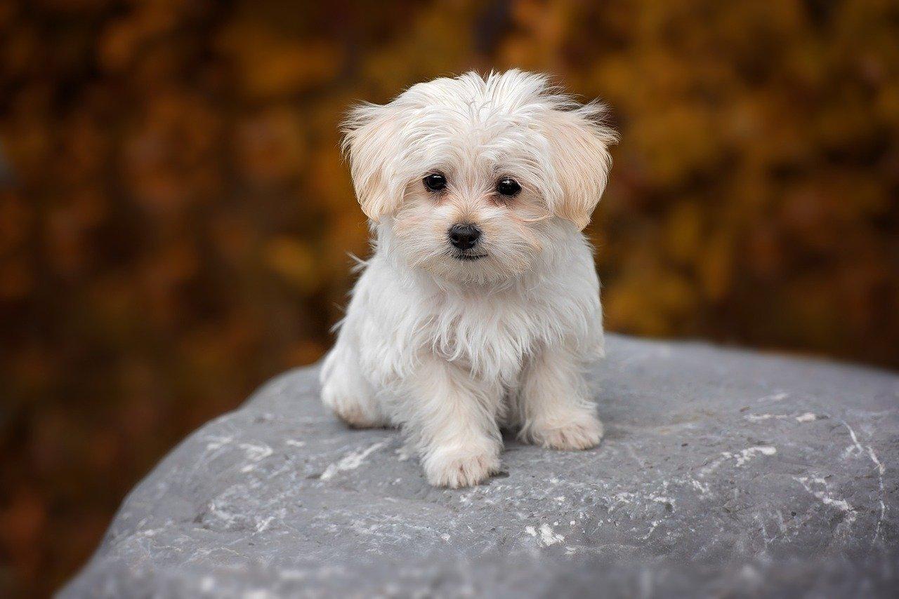 I Pasti E L Alimentazione Del Cane Maltese Dogalize