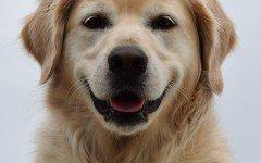 Alimentazione del cane Golden Retriever
