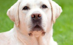 Dog disease: Canine Distemper in Dogs