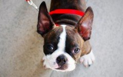 Dog breeds: Boston Terrier dog, Characteristics and Personality