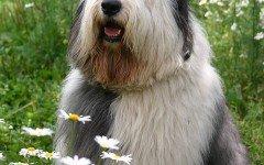 Razas de Perros: perro Bobtail características y cuidados