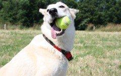 Come addestrare un cane con la pallina da riporto