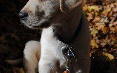 Come educare un cane labrador: comandi base e avanzati