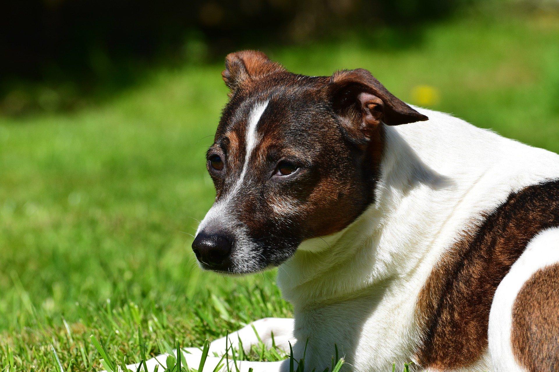 Malattia di Lyme nel cane: cause della borreliosi