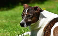 Dog disease: Filariasis in Dogs - Symptoms, and Treatment