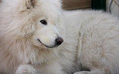 los perros mas peludos del mundo